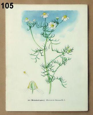 staré obrázky květin heřmánek