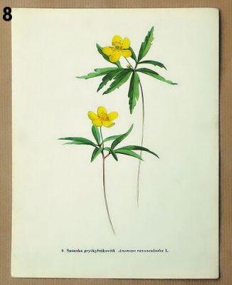 staré obrázky květin sasanka