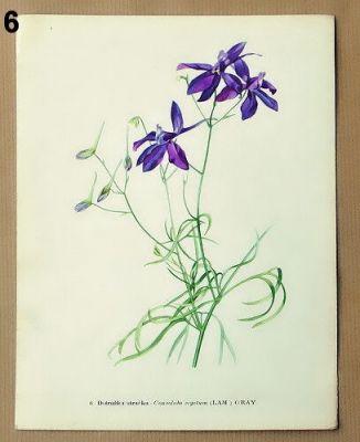 staré obrázky květin stračka
