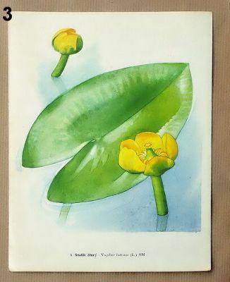 staré obrázky květin stulík