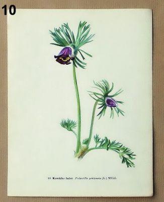 staré obrázky květin koniklec