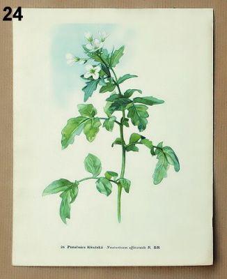 staré obrázky květin potočnice