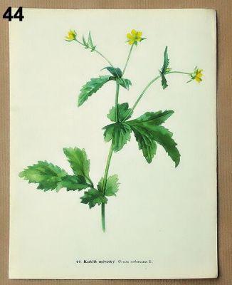 staré obrázky květin kuklík