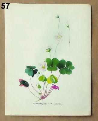 staré obrázky květin šťavel