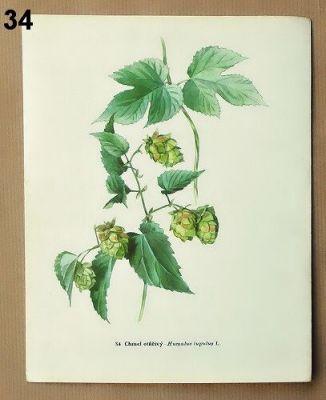 staré obrázky květin chmel