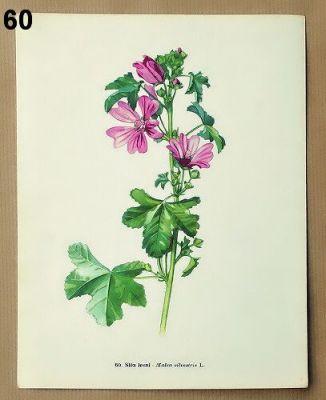 staré obrázky květin sléz