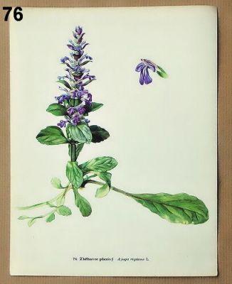staré obrázky květin zběhovec plazivý