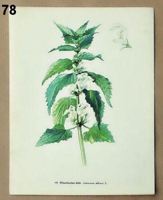 staré obrázky květin hluchavka
