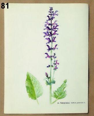 staré obrázky rostlin šalvěj