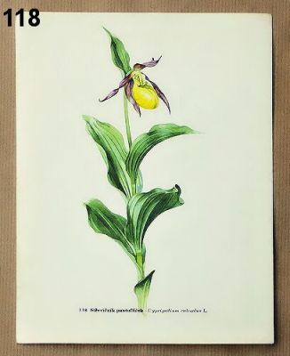 staré obrázky rostlin pantoflíček