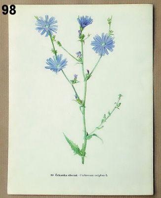 staré obrázky rostlin čekanka