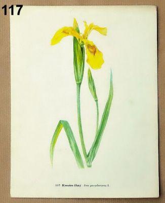 staré obrázky květin kosatec