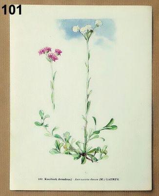 staré obrázky rostlin kociánek