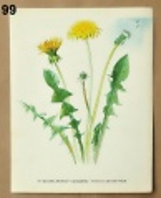 staré obrázky rostlin pampeliška