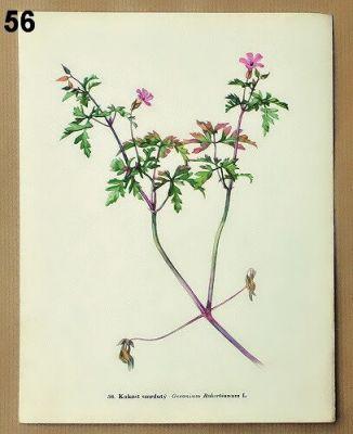 staré obrázky rostlin kakost