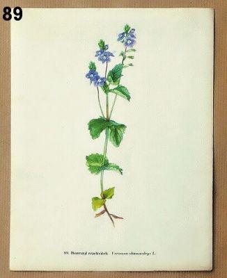 staré obrázky rostlin rozrazil