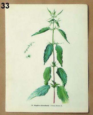 staré obrázky květin kopřiva