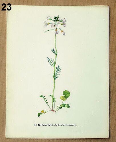 staré obrázky květin řeřišnice