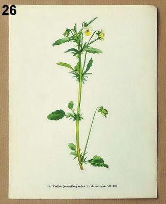 staré obrázky květin maceška