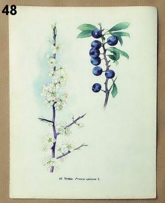 staré obrázky květin trnka