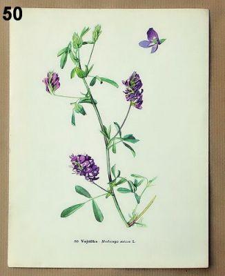 staré obrázky květin vojtěška
