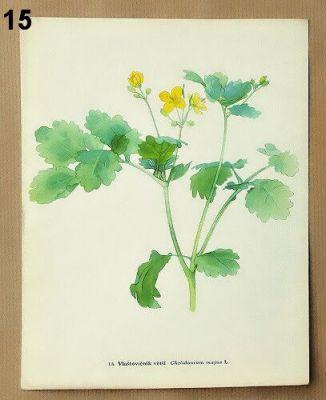 staré obrázky rostlin vlaštovičník