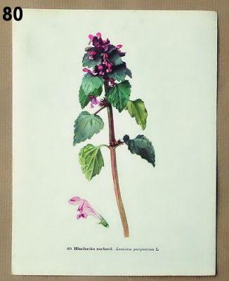 staré obrázky květin hluchavka nachová
