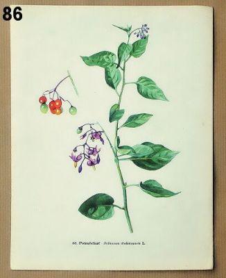 staré obrázky rostlin potměchuť