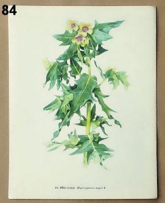 staré obrázky rostlin blín