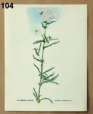 staré obrázky rostlin řebříček