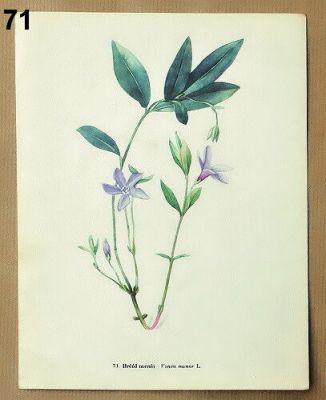 staré obrázky rostlin barvínek