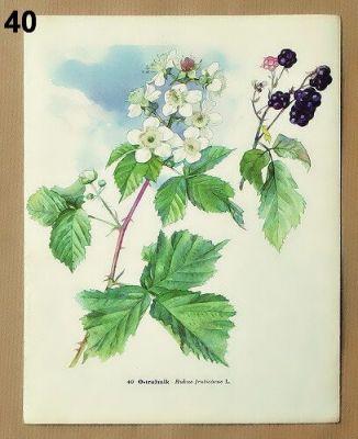 staré obrázky rostlin ostružina