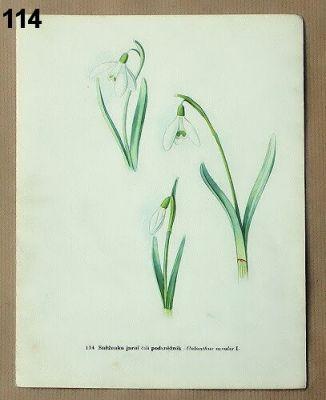 staré obrázky květin sněženka