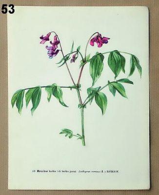 staré obrázky květin hrachor