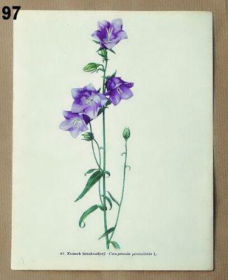 vintage obrázky ze starého atlasu květin