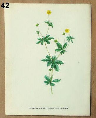 vintage obrázky léčivé rostliny k zarámování