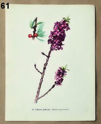 starodávní obrázky  květin