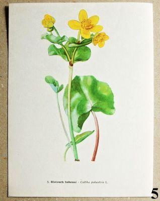 atlas květin blatouch bahenní