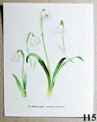 atlas květin bledule jarní