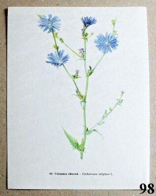 atlas květin čekanka obecná
