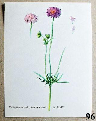 atlas květin chrastavec polní