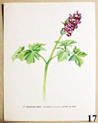 atlas květin dymnivka dutá