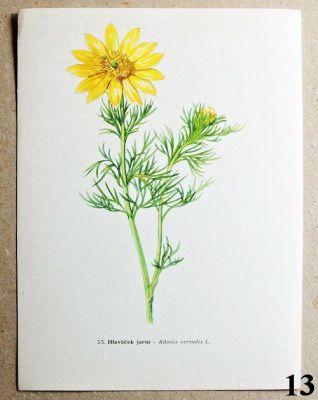 atlas květin hlaváček jarní