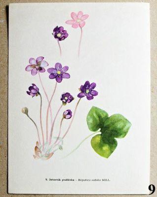atlas květin jaterník podléska