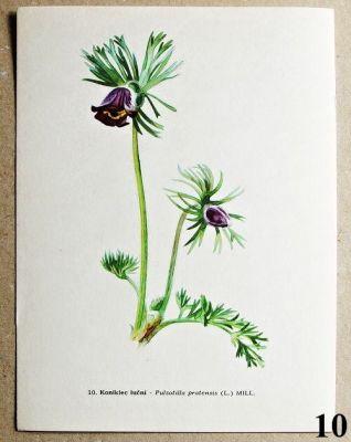 atlas květin koniklec luční