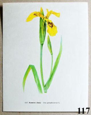 atlas květin kosatec žlutý