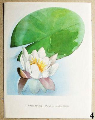 atlas květin leknín bělostný
