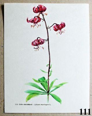 atlas květin lilie zlatohlavá