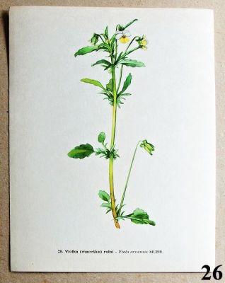 atlas květin violka rolní