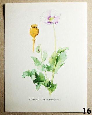 atlas květin mák setý